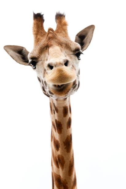 Фотообои жираф на белом (animals-0000164)