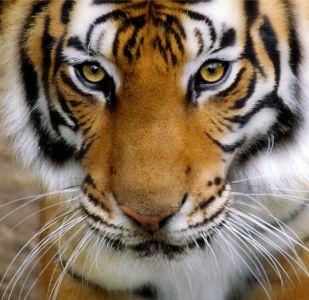 Фотообои взгляд тигра (animals-0000179)