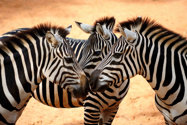 Фотообои зебраы (animals-0000266)