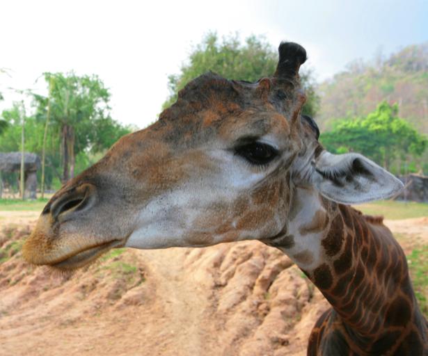Фотообои Жираф любопытный (animals-0000269)