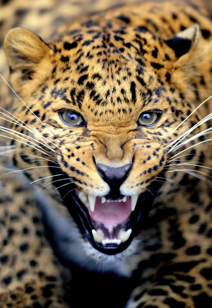 Фотообои леопард фото (animals-0000306)