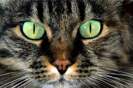 Фотообои кошка глаза (animals-0000366)