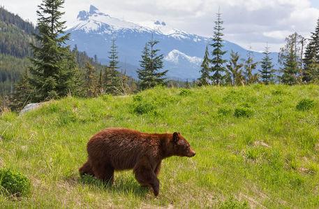 Фотообои Медведь в природе (animals-530)