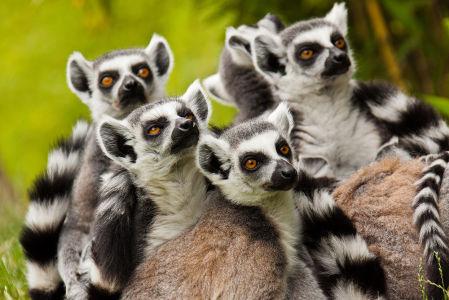 Фотообои Семейство Лемуров (animals-575)