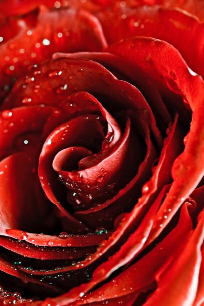Фото обои цветок Алая, красная роза (flowers-0000073)