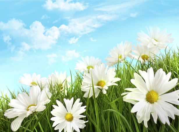 Обои фото цветы Полевые ромашки (flowers-0000142)