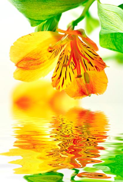 Цветок над водой фото обои цветы (flowers-0000240)