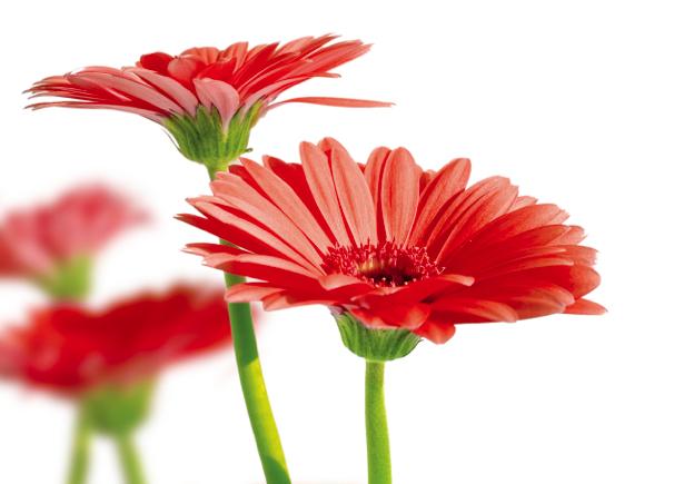 Фото обои цветок - Красные герберы (flowers-0000275)