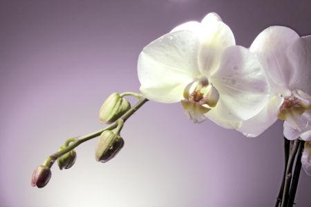 Фото обои для стен ветка белой орхидеи (flowers-0000456)