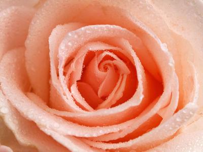 Фотообои роса на розе (flowers-757)
