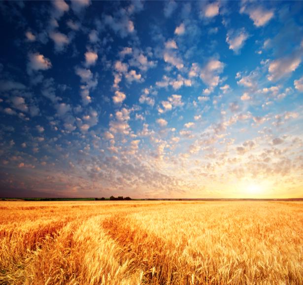 Фотообои поле пшеница, закат (nature-00321)