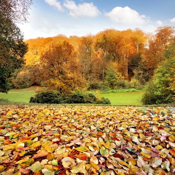Фотообои осенний лес с листвой (nature-00605)