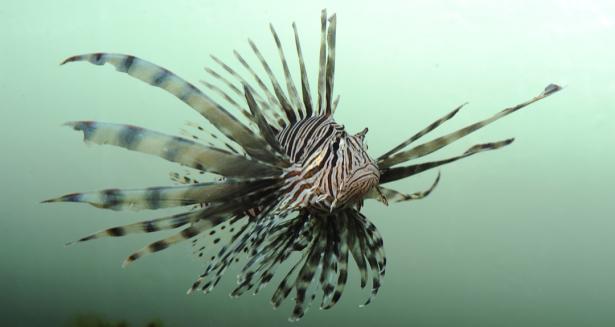 Фотообои для ванны крылатка (underwater-world-00204)