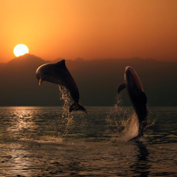 Фотообои дельфин над водой на закате (animals-0000068)