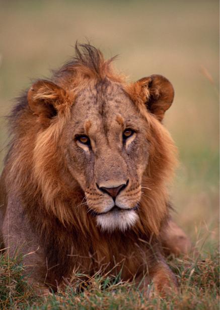 Фотообои лев, львица в поле (animals-0000083)