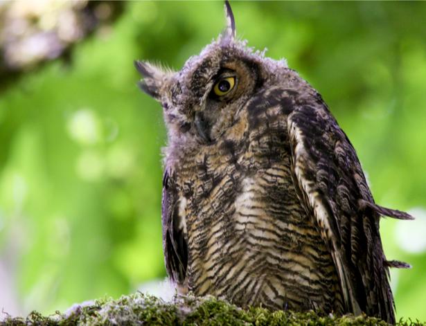 Фотообои сова, филин фото (animals-0000095)