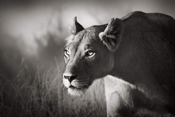 Фотообои лев черно-белое фото (animals-0000373)