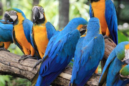Фотообои попугаи ара синие (animals-0000493)