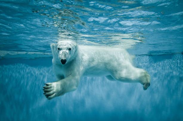 Фотообои Белый медведь под водой (animals-526)