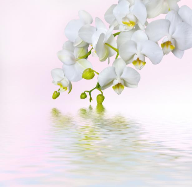 Белая орхидея фотообои цветов на стену (flowers-0000051)