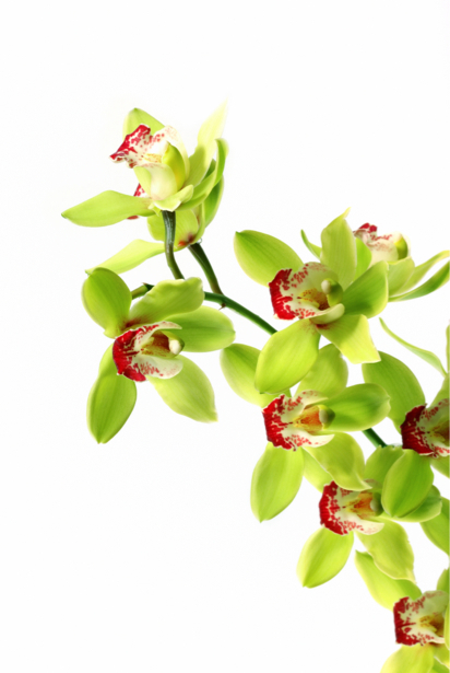 Зеленая орхидея красивые цветы фото обои (flowers-0000061)