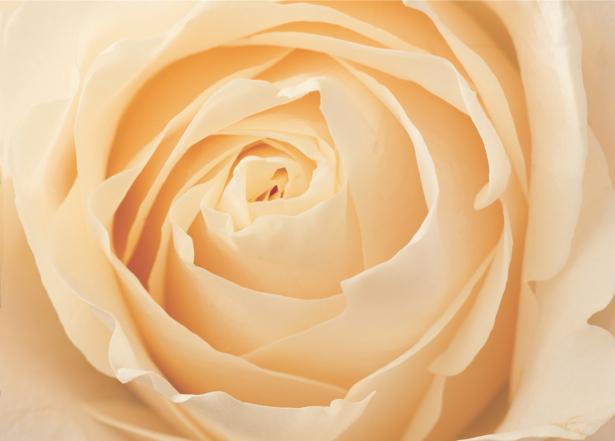 Кремовая роза обои цветы на стену (flowers-0000063)