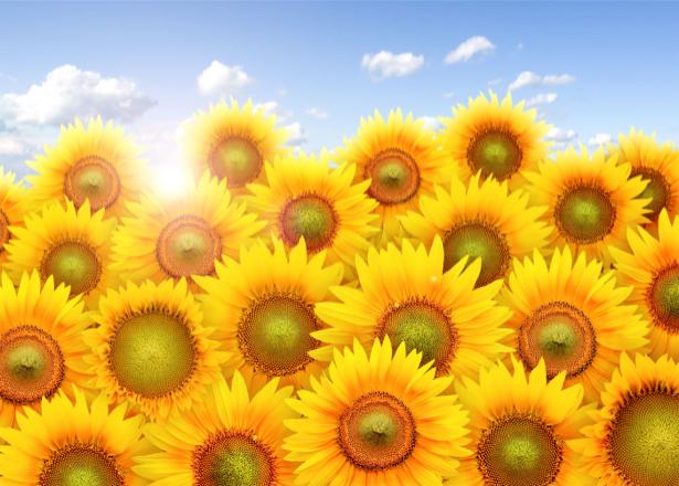 Фотообои на стену цветы -  Подсолнухи (flowers-0000188)