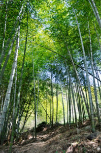 Фотообои Украина Бамбуковый лес (flowers-0000206)