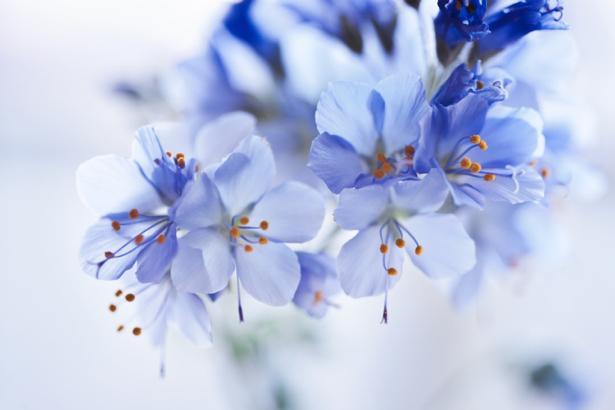 Обои фото Голубые цветы (flowers-0000327)
