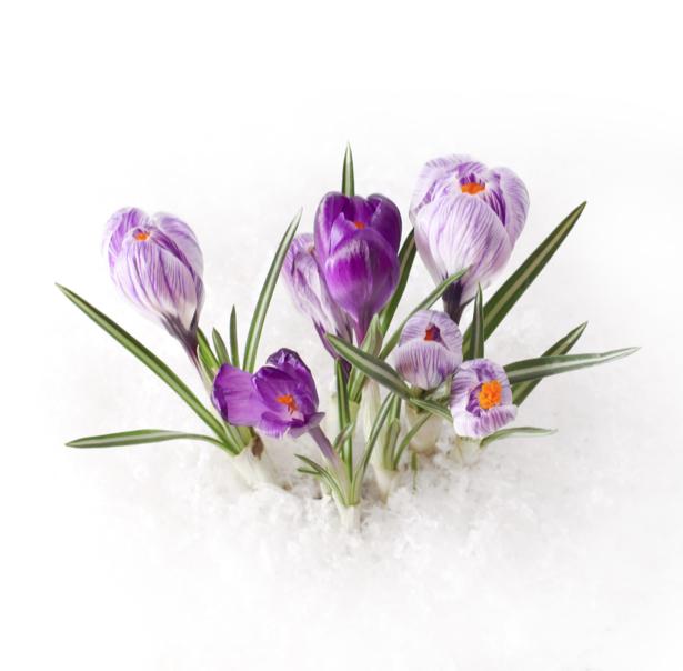 Фотообои на стену цветок - фиолетовые крокусы (flowers-0000343)