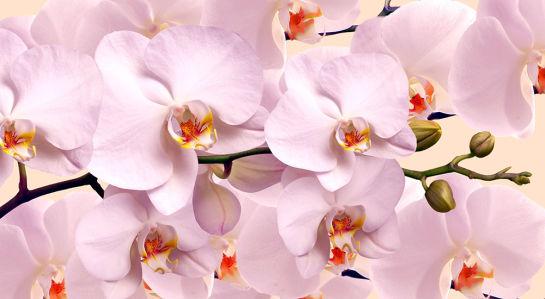 Фотообои Нежные орхидеие (flowers-784)