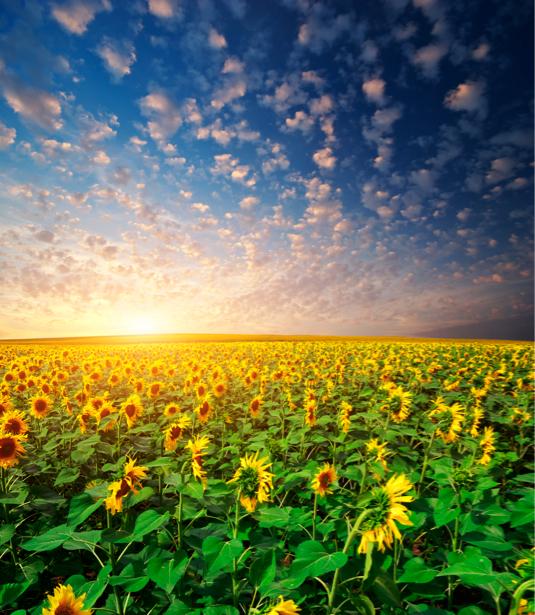 Фотообои виды природы поле подсолнуха (nature-00323)