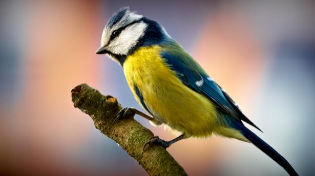 Фотообои синичка жолтая (animals-0000241)
