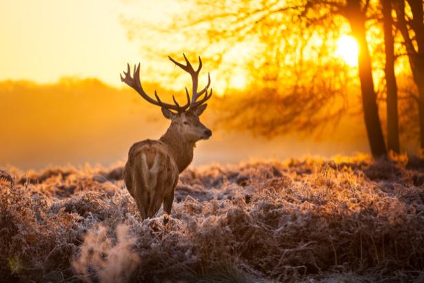 Фотообои Олень в лесу (animals-0000418)