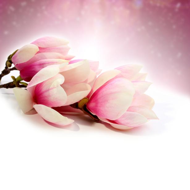 Фотообои фото цветы Ветка магнолии (flowers-0000003)