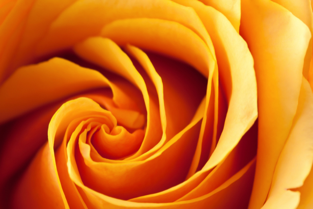 Желтая роза фотообои цветы на стену фото (flowers-0000086)