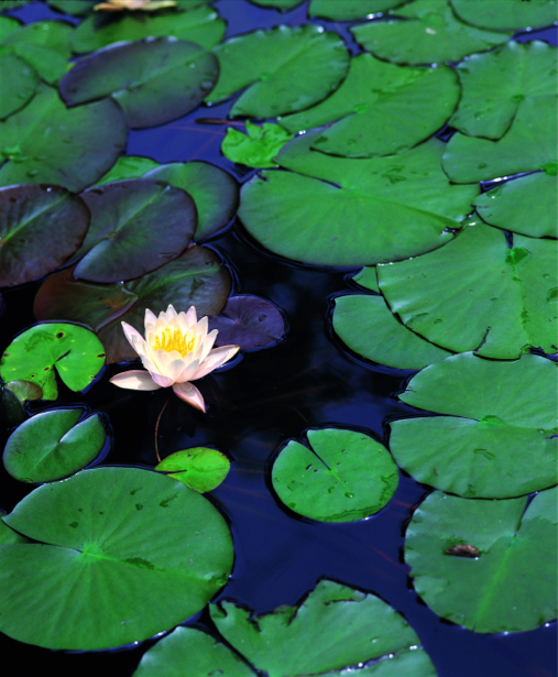 Водяная лилия Обои для стен фото (flowers-0000133)
