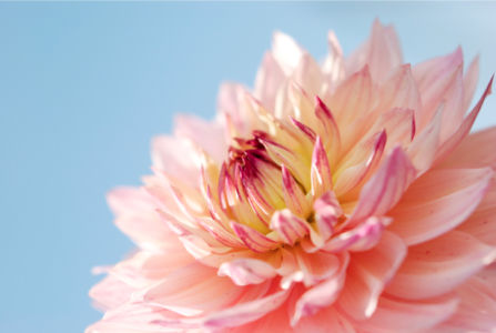 Фотообои на стену Цветок пиона (flowers-0000212)