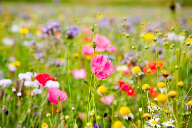 Полевые цветы обои на стену (flowers-0000268)