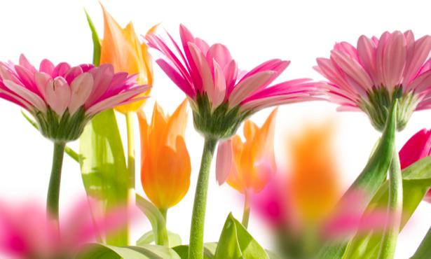 Фото обои цветок - Герберы и желтые тюльпаны (flowers-0000274)