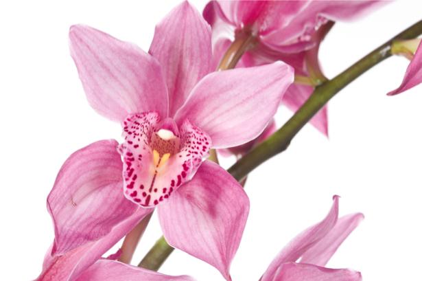 Фото обои Розовая орхидея (flowers-0000300)