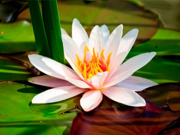Фотообои на стену цветок - Водяная лилия (flowers-0000309)