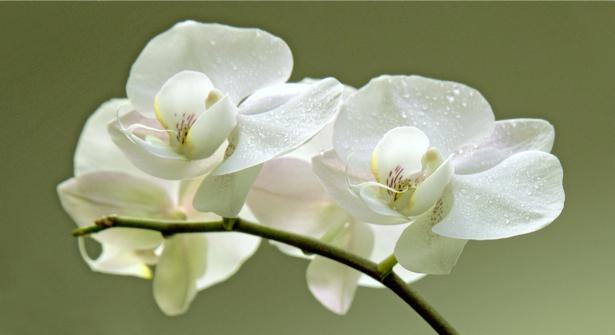 Фото обои на стену белая орхидея (flowers-0000371)