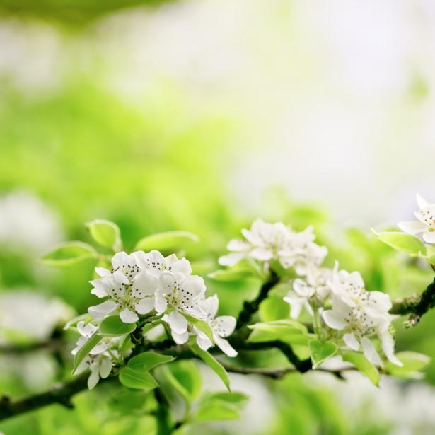 Фото обои на стену ветки цветущего дерева (flowers-0000381)