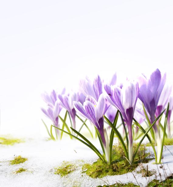 Фото обои цветок фиолетовые крокусы (flowers-0000415)