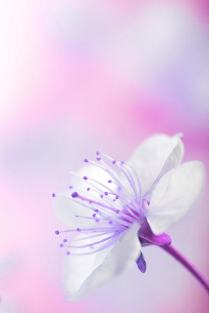 Обои фото белый цветок (flowers-0000424)