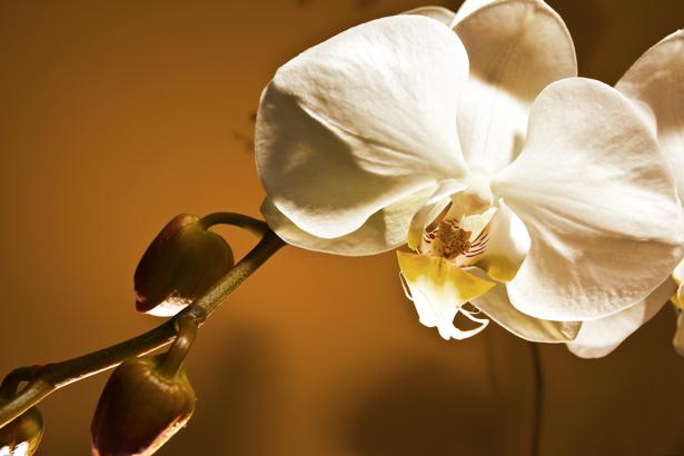 Фото обои Ветка белой орхидеи (flowers-0000450)