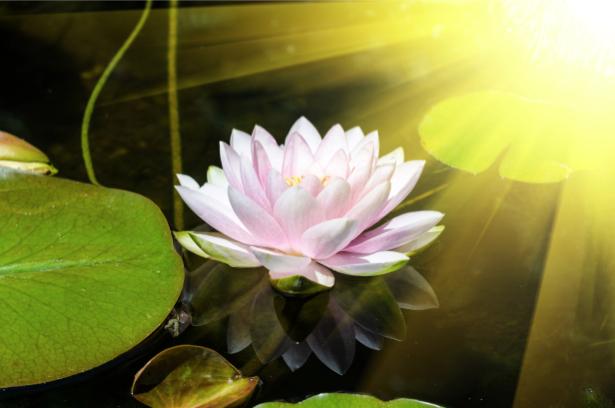 Фото обои цветок лилии на воде (flowers-0000615)