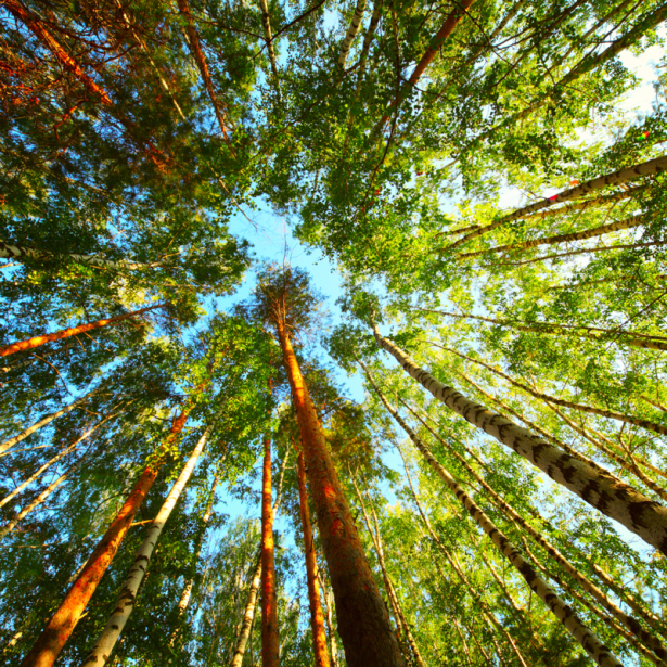 Фотообои стволы деревьев (nature-0000808)
