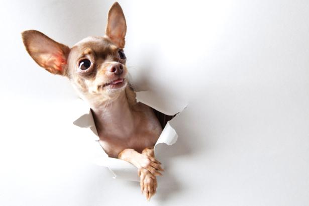 Фотообои собака прорвалась (animals-0000165)